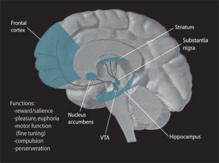 Dopamine Pathways. In the brain, dopamine plays an important role in the regulation of reward and movement. As part of the reward pathway, dopamine is manufactured in nerve cell bodies located within the ventral tegmental area (VTA) and is released in the nucleus accumbens and the prefrontal cortex. Its motor functions are linked to a separate pathway, with cell bodies in the substantia nigra that manufacture and release dopamine into the striatum (Image Source: WIkipedia)