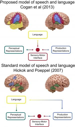 "A new study by Cogan et al proposes that speech processes occur on both sides of the brain and are distinct from language, which occurs on one side, typically on the left. This suggests a revision to the standard model of how speech is linked to language with some processes going through a ""bilateral sensory-motor interface"". Credit: Greg Cogan and Bijan Pesaran"