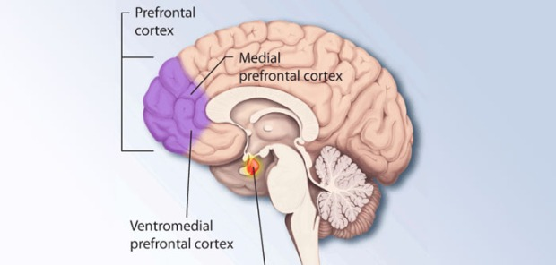Prefrontal-cortex-by-NIMH