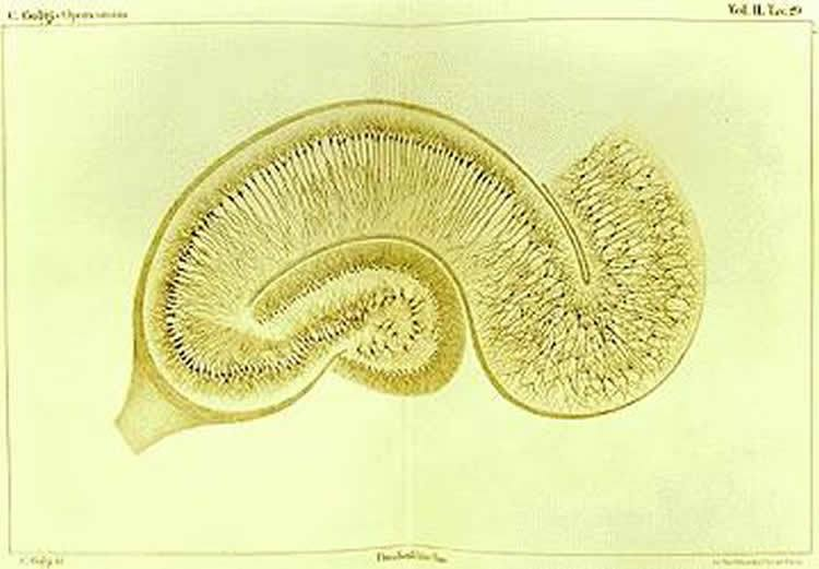 A new study has found that while stereotypic shapes exist for this structure, individuals with a broader hippocampus tend to perform better on various tests that assess memory. The image is for illustrative purposes only. Image credit: Camillo Golgi.