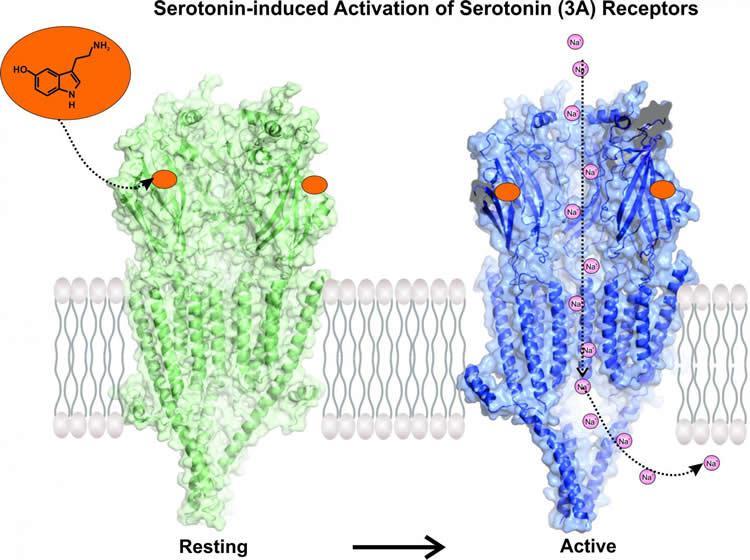 serotonin-receptor-activation-neuroscieneews.jpg
