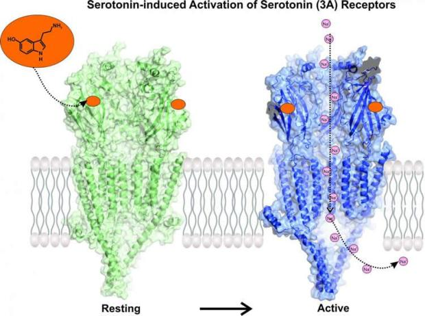 serotonin-receptor-activation-neuroscieneews.jpg