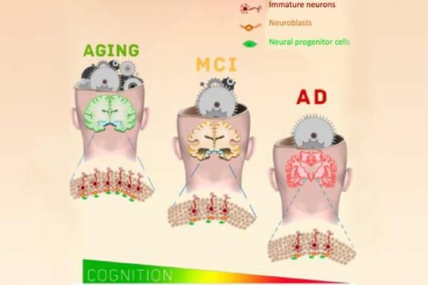 neurogenesis-alzheimers-neuroscienceews